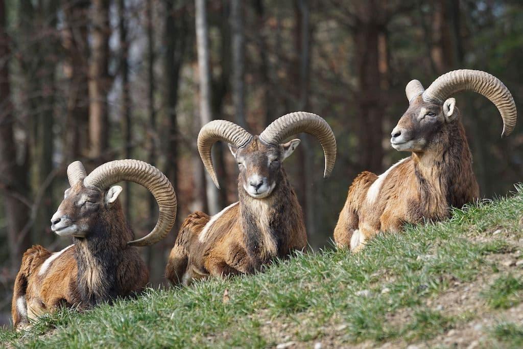 Drei Mufflons liegen nebeneinander auf der Wiese