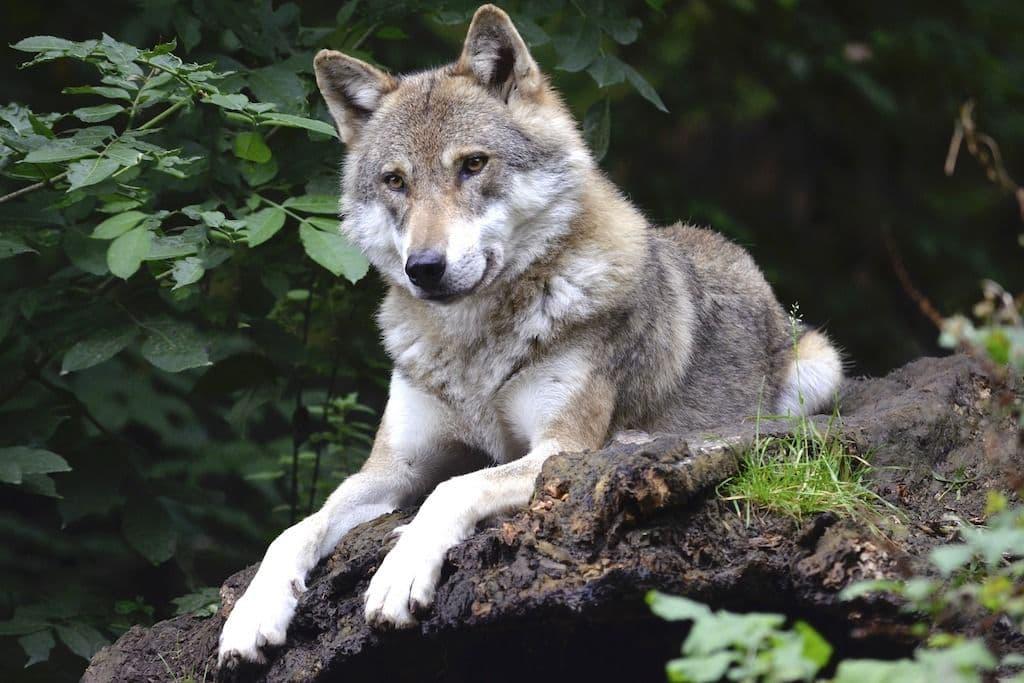 Wolf liegend in der freien Natur
