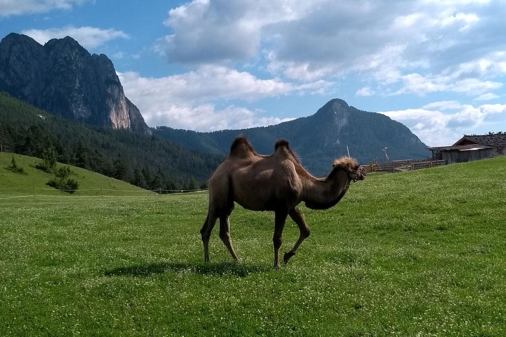 Een kameel loopt bovenop de Tuff Alm