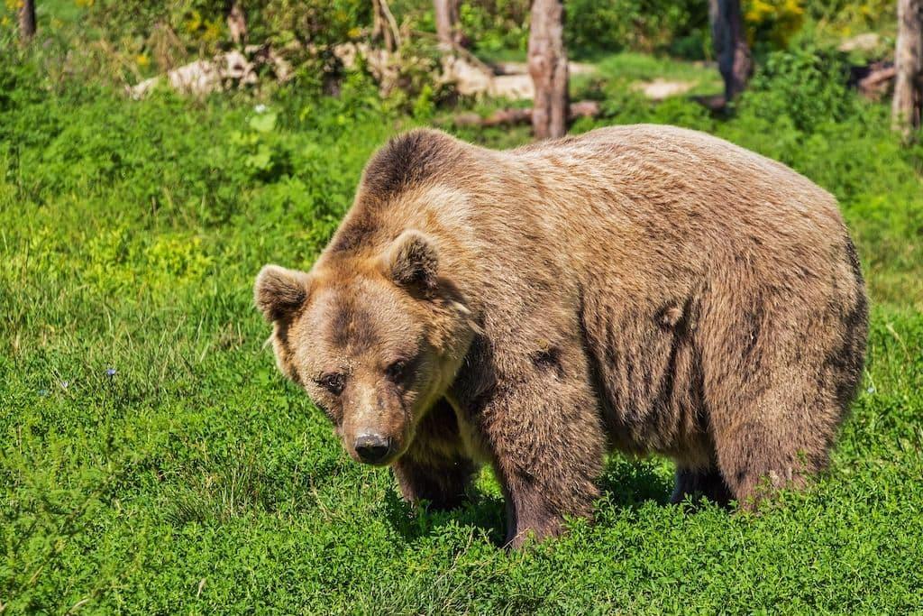 Brauner Bär läuft auf grüner Wiese